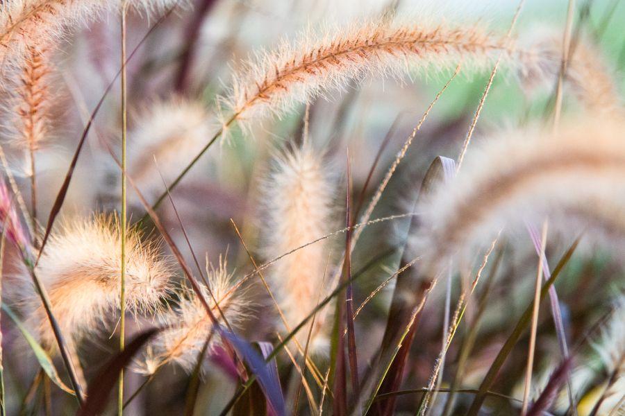 Grass heads.